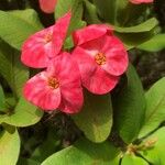 Euphorbia milii Kvet