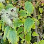 Clematis vitalba Leaf