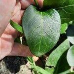 Vinca major Leaf