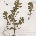 Amaranthus graecizans