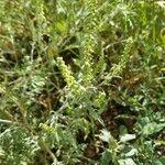 Ambrosia psilostachya