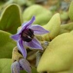 Solanum oxycarpum