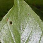 Anthurium ramonense