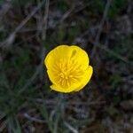 Ranunculus gramineus Flor