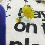 Sonchus oleraceus Kvet