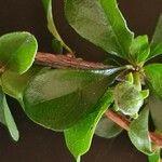 Turraea parvifolia