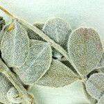 Astragalus traskiae