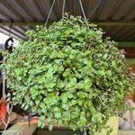 Callisia repens Leaf