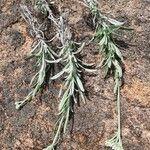 Helichrysum glumaceum