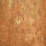 Swartzia panacoco
