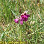 x Serapicamptis bevilacquae