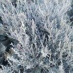 Stoebe passerinoides Levél