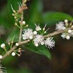 Eugenia tapacumensis