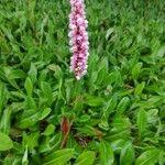 Persicaria affinis