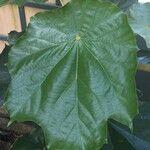 Pterospermum acerifolium