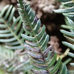 Blechnum australe