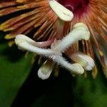 Passiflora pittieri