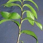 Maianthemum paniculatum