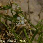 Moehringia intermedia