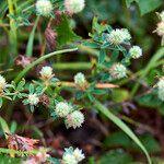 Trifolium squamosum