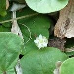 Dichondra micrantha