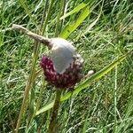 Allium atroviolaceum