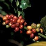 Coffea canephora