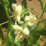 Kraussia floribunda
