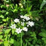 Allium neapolitanum Kvet