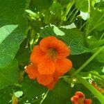 Tropaeolum majus Flower