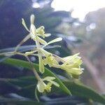 Epidendrum magnoliae