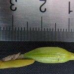 Jacquiniella teretifolia