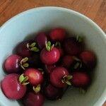 Eugenia brasiliensis Gyümölcs