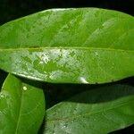 Pouteria izabalensis