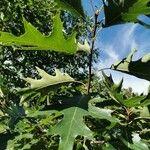 Quercus rubra Blatt