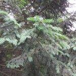 Picea koyamae