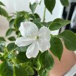 Impatiens walleriana Flower