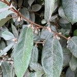 Elaeagnus x submacrophylla