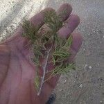 Juniperus communis Liść