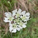 Orlaya grandiflora Kvet