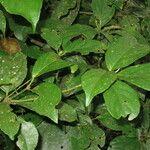 Baccaurea racemosa