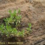 Globularia amygdalifolia