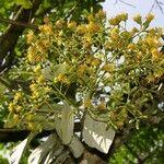 Sinclairia polyantha