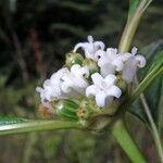Psychotria cooperi