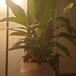 Spathiphyllum blandum Leaf