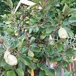 Ficus pumila Plod