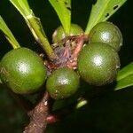 Chiococca belizensis