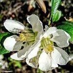Prunus salicina