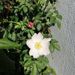 Rosa vosagiaca
