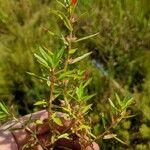 Ammannia ramosior